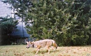 Coyotes are wild animals that began moving into metropolitan areas about two decades ago.
