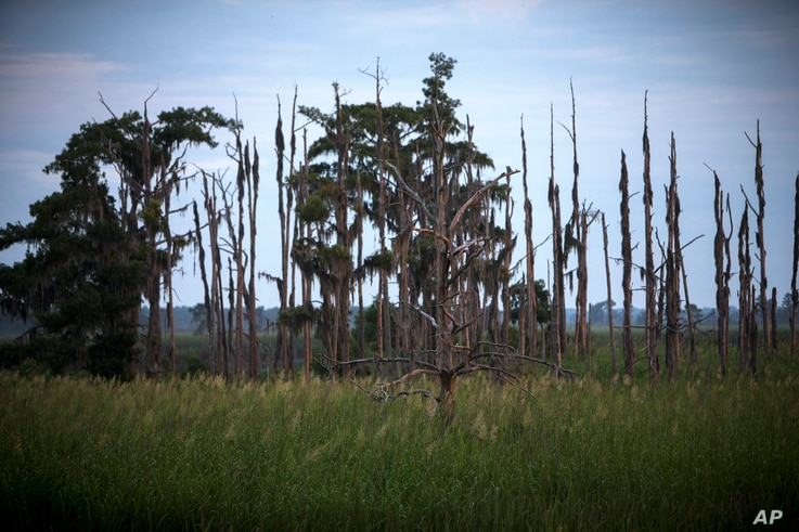 """This July 16, 2017, photo shows a """"ghost forest"""" near the Savannah River in Port Wentworth, Georgia. Rising sea levels are killing trees along vast swaths of the North American coast by inundating them in salt water."""