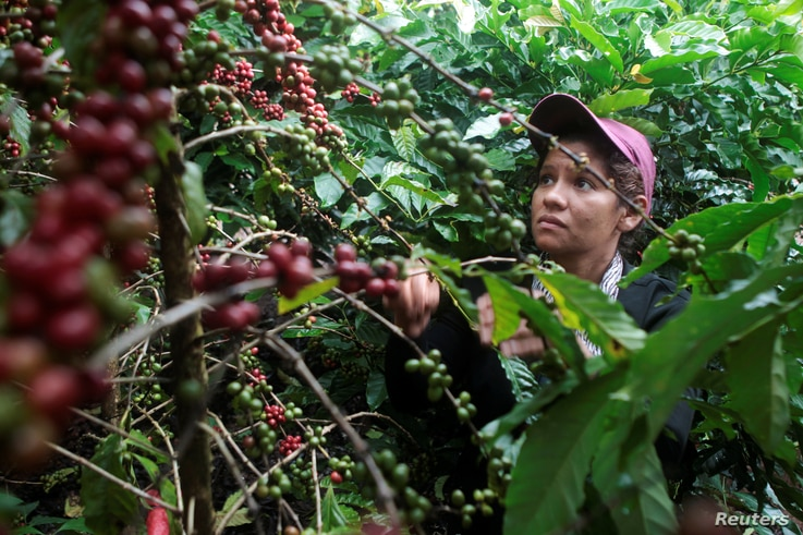 FILE - A worker harvests robusta coffee fruits at a plantation in Nueva Guinea, Nicaragua, Dec. 30, 2017.