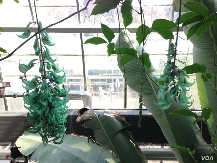 The exotic and rare Jade Vine flower is native to the Philippines, but recently bloomed for the second time in 20 years at the U.S. Botanic Garden in Washington. (J. Taboh/VOA)
