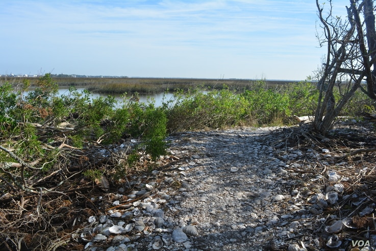 The Timucua, a Native American people who lived in northeast and north central Florida and southeast Georgia, ate fish, clams and oysters, and piled the shells into large heaps called middens, which are still around today.