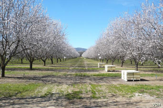 About 1.7 million bee colonies have been trucked into California from all over the country for the almond pollination season, which typically begins around Valentine's Day.
