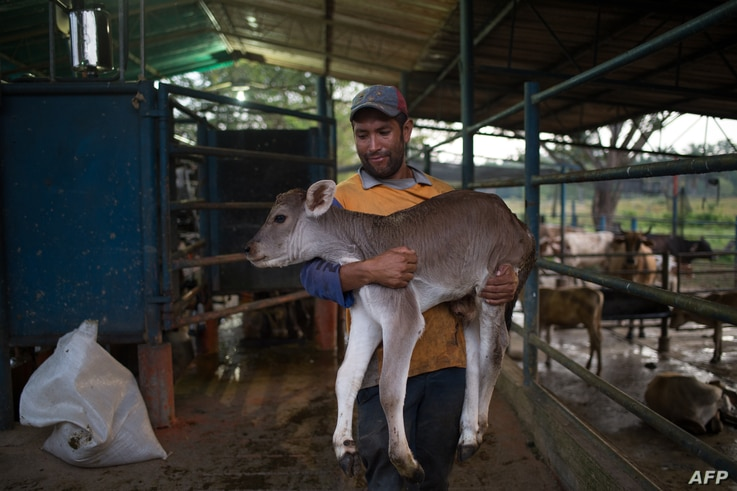A famer carries a calf at a dairy farm in San Silvestre, Barinas State, Venezuela, Nov. 28, 2018.