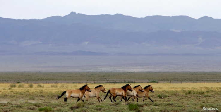 A herd of endangered Przewalski's horses trot across the Takhin Tal National Park, part of the Great Gobi B Strictly Protected Area, in southwest Mongolia, June 22, 2017.