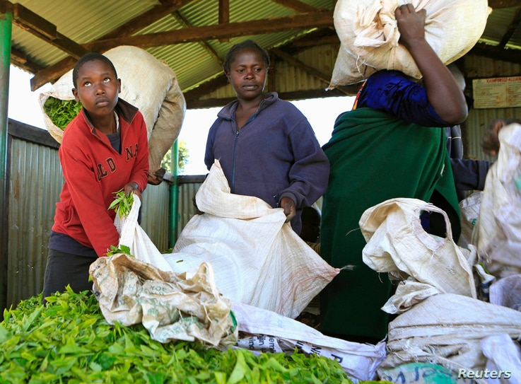 FILE - A youth delivers tea leaves for weighing in Nandi Hills, in Kenya's highlands region west of capital Nairobi, Nov. 5, 2014.