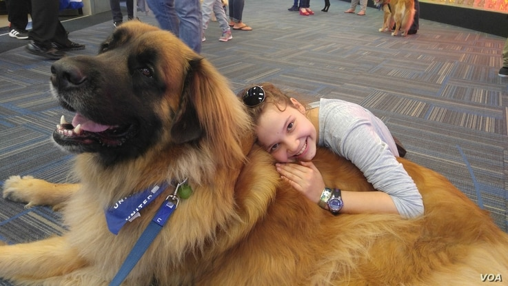 A youngster named Lexi, getting ready at Dulles International Airport for a trip with her mother to Switzerland, takes time to make friends with Aslan, a Leonberger who works as a therapy dog with People Animals Love. (D. Block/VOA)