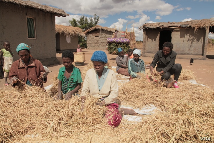 People from surrounding villages flock to Rose Farm on paid a day labor preparing rice for drying. (L. Masina/VOA)