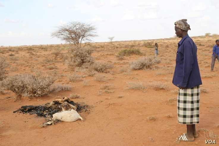 Man looks at carcass of his goats which died due to the severe drought in the Togdher region of Somaliland. (Photo: A. Osman / VOA)