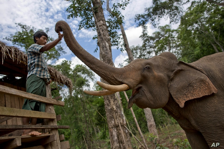 FILE - A mahout touches a tame elephant at a government-owned elephant facility in Kabyin Lwin, northern Sagaing division, Myanmar, June 27, 2016.