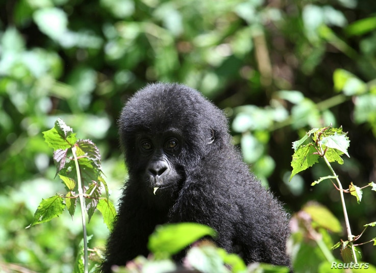 FILE - A young Grauer's gorilla is seen in the Kahuzi-Biega National Park in South Kivu, eastern Democratic Republic of the Congo, Nov. 5, 2012.