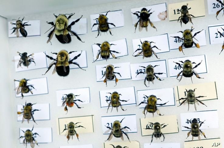 A collection of bumblebees are pinned to a board for identification in Togus, Maine, July 10, 2015.