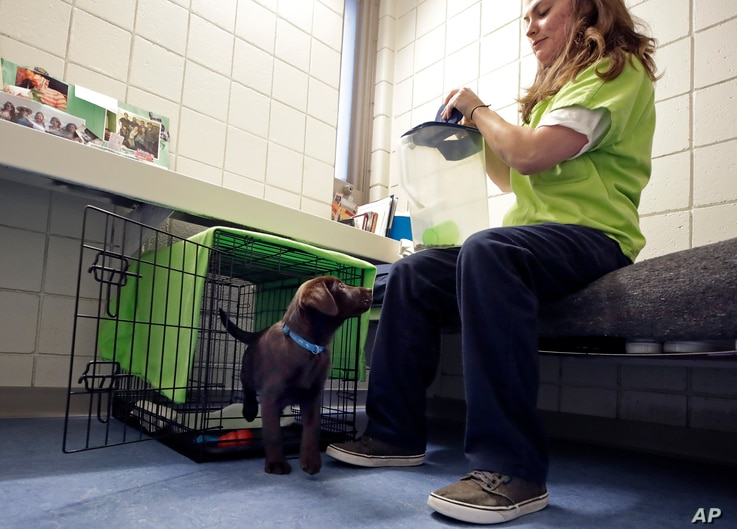 Inmate Caitlin Hyland gives a treat to a chocolate lab puppy that lives in her cell at Merrimack County Jail in Boscawen, N.H., Jan. 8, 2019.
