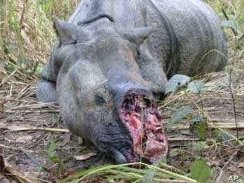 What Mander's trying to prevent: the slaughter of Africa's rhinos for their horns