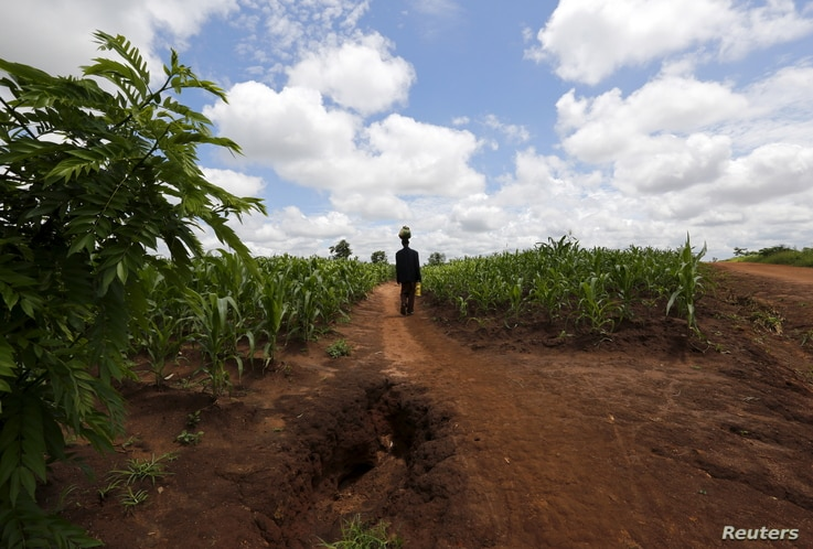A Malawian man carries food aid distributed by the United Nations World Food Program (WFP) through maize fields in Mzumazi village near the capital Lilongwe, Feb. 3, 2016.