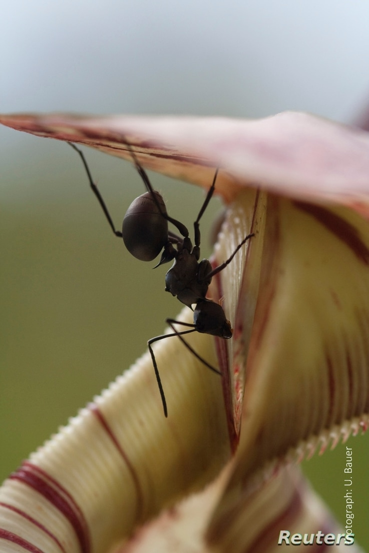 A worker ant collects sweet nectar from the trap of an insect-eating Nepenthes pitcher plant in this undated handout picture courtesy of Dr. Ulrike Bauer, University of Bristol, United Kingdom.