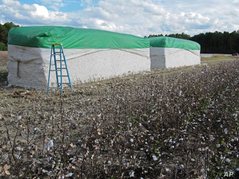 Harvested cotton