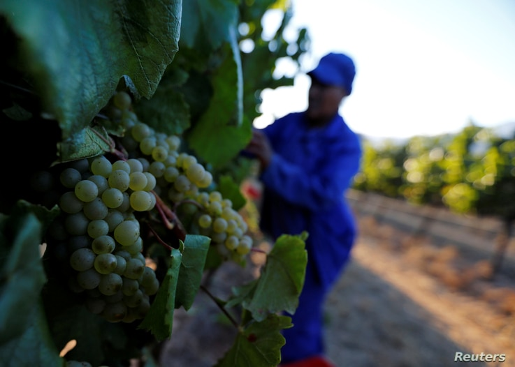 FILE - Workers harvest grapes at the La Motte wine farm in Franschhoek near Cape Town, South Africa in this picture taken January 29, 2016.