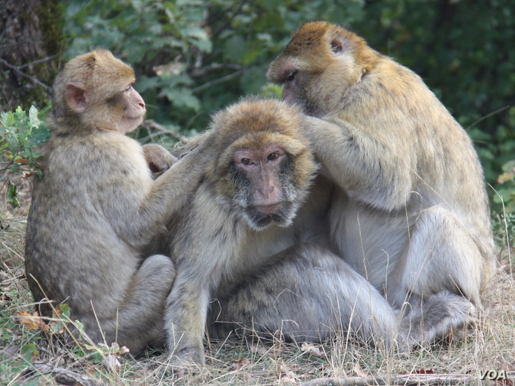 An older Barbary macaque being groomed by younger macaques at the La Forêt des Singes Park in Rocamadour, France.