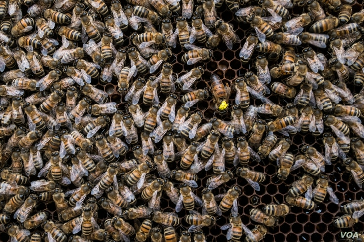 A queen bee, marked in yellow, moves among the worker bees in Alessandria, Italy, Aug. 22, 2017. (R. Shryock/VOA)