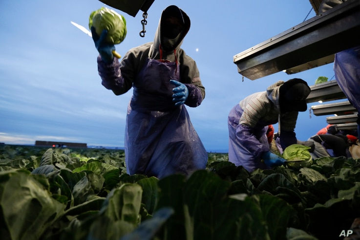 In this March 6, 2018 picture, farmworker Santiago Martinez, of Mexicali, Mexico, picks cabbage before dawn in a field outside of Calexico, Calif.