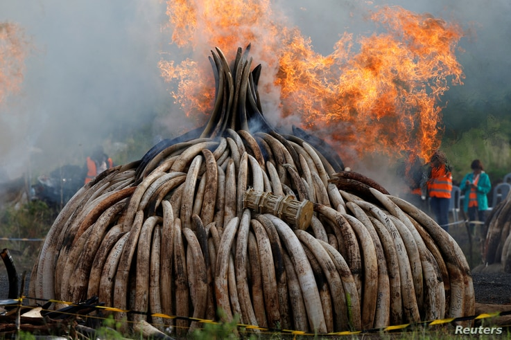 Fire burns part of an estimated 105 tonnes of ivory and a tonne of rhino horn confiscated from smugglers and poachers at the Nairobi National Park near Nairobi, Kenya, April 30, 2016.