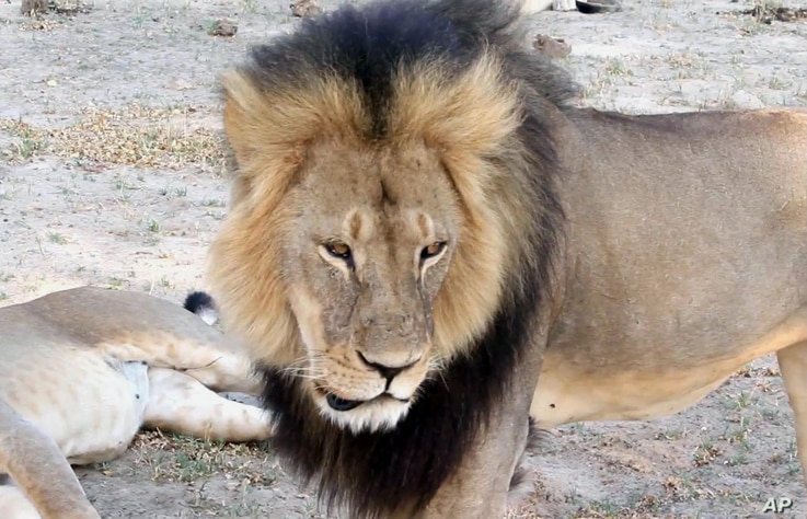 Cecil, a well-known, protected lion who lived in Zimbabwe's Hwange National Park, is seen in this frame grab taken from a November 2012 video made available by Paula French.