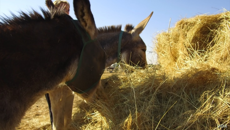 Rural, often poor South Africans, like Mpho Mashele, say they've been forced to sell their precious donkeys at a loss or face having them stolen by poachers who are keen to satisfy growing demand for donkey parts from the Chinese market. (Courtesy - ...