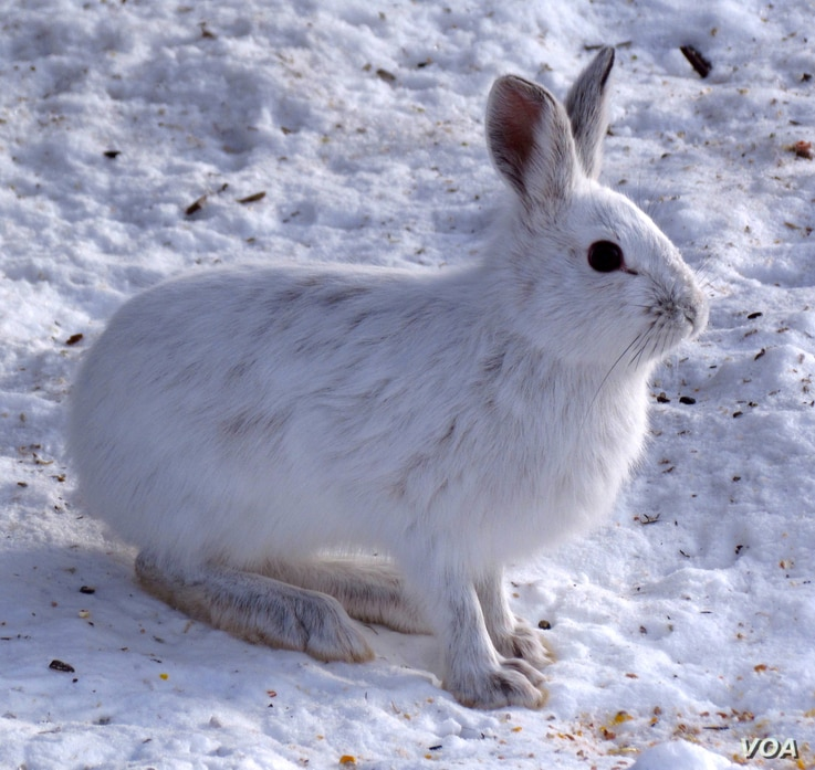 Snowshoe hares with proper camouflage have a significantly higher chance of survival. (Photo courtesy of D. Gordon E. Robertson/Wikimedia Commons)
