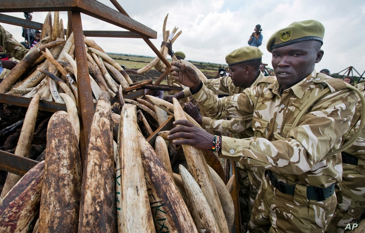 Rangers from the Kenya Wildlife Service (KWS) stack elephant tusks into pyres, after carrying it from shipping containers full of ivory transported from around the country, in Nairobi National Park, Kenya, April 20, 2016.