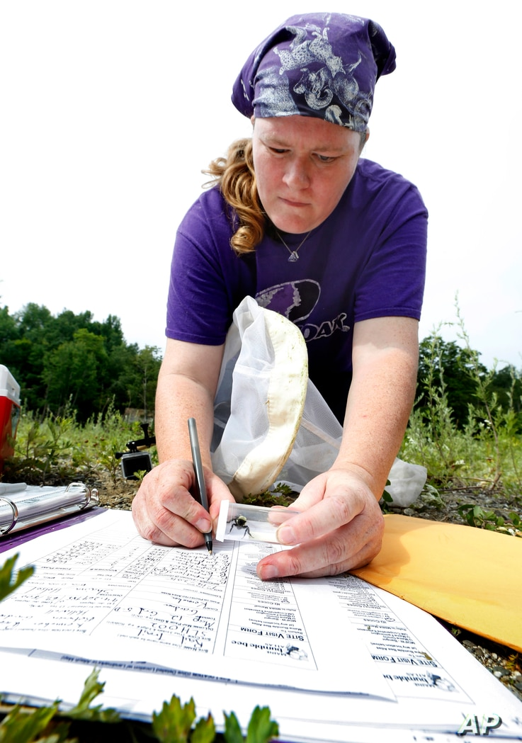 Volunteer Shaina Helsel records data after capturing a bumblebee in Gardner, Maine, July 10, 2015.