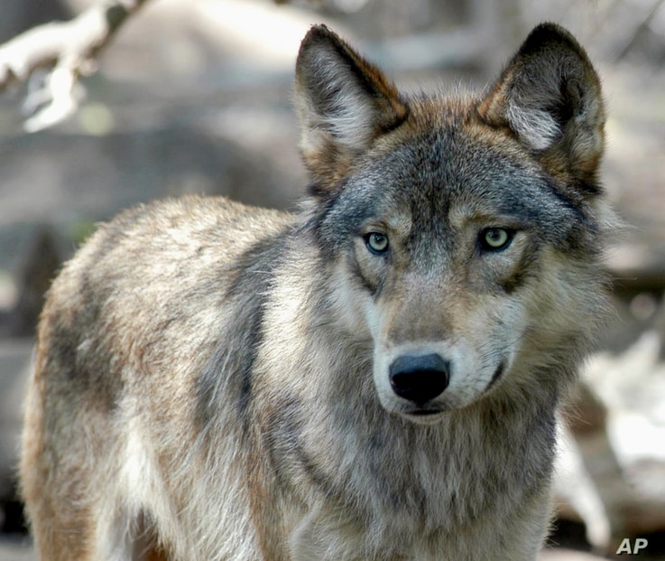 FILE - This July 16, 2004, photo shows a gray wolf at the Wildlife Science Center in Forest Lake, Minn.