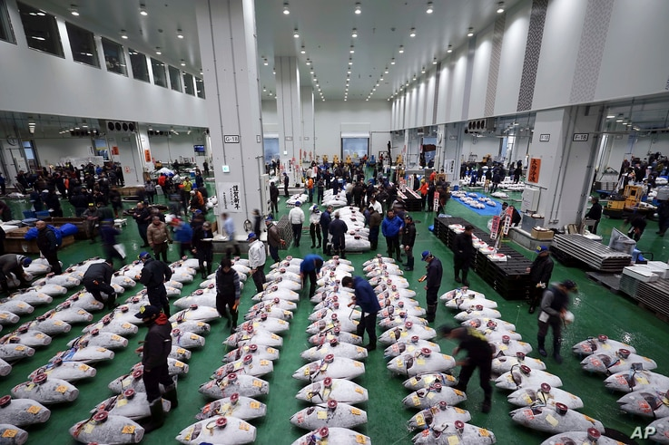 A prospective buyers inspect the quality of tuna before the first auction of the year at the newly opened Toyosu Market, new site of Tokyo's fish market, Jan. 5, 2019, in Tokyo.