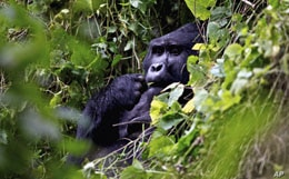 A silverback mountain gorilla is seen during a census inside Bwindi Impenetrable National Park, about 550 kilometrs west of Uganda's capital Kampala, October 14, 2011.