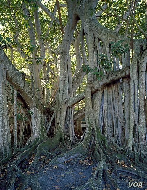 Thomas Edison's banyan tree looks like something out of a scary movie. (Carol M. Highsmith)