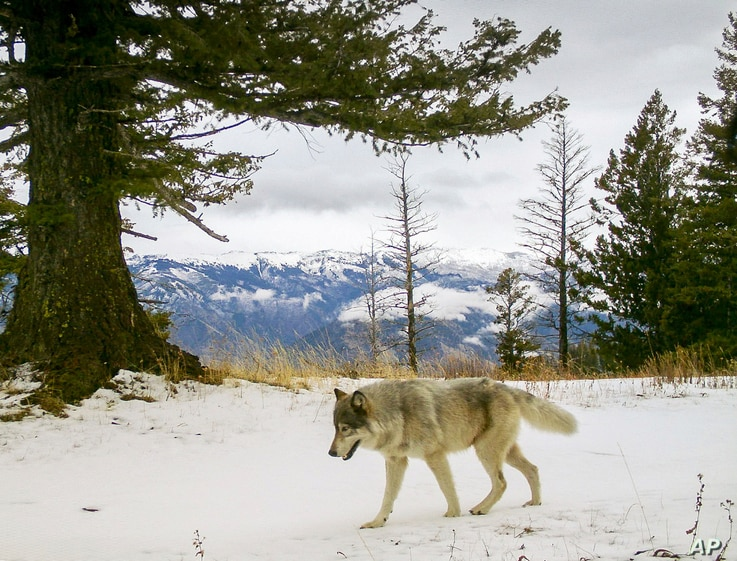 FILE - In this Dec. 4, 2014, photo released by the Oregon Department of Fish and Wildlife, a wolf from the Snake River Pack passes by a remote camera in eastern Wallowa County, Ore.