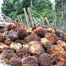 Palm fruit taken from a forest dependent community on the Kampar Peninsula in Riau Province, Sumatra, Indonesia