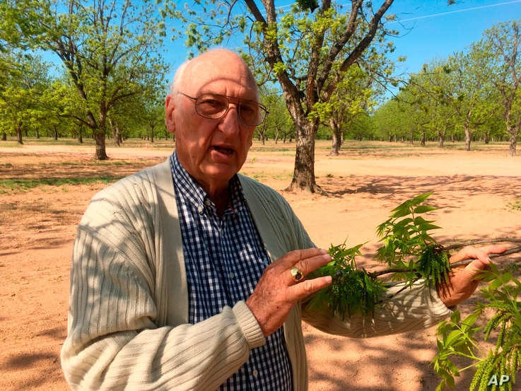 Jim Anthony, the owner of a 14,000-acre pecan farm near Granbury, Texas, displays bud break on a tree, April 24, 2018.