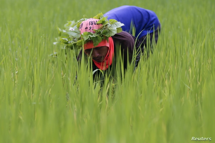 A rice farmer collects snails and cleans the rice field near Udon Thani, Thailand, Sep. 15, 2015.