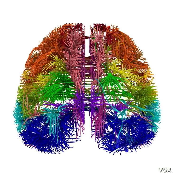 A top-down view of the mouse brain highlighting connections originating in different parts of the cortex. (Allen Institute for Brain Science)