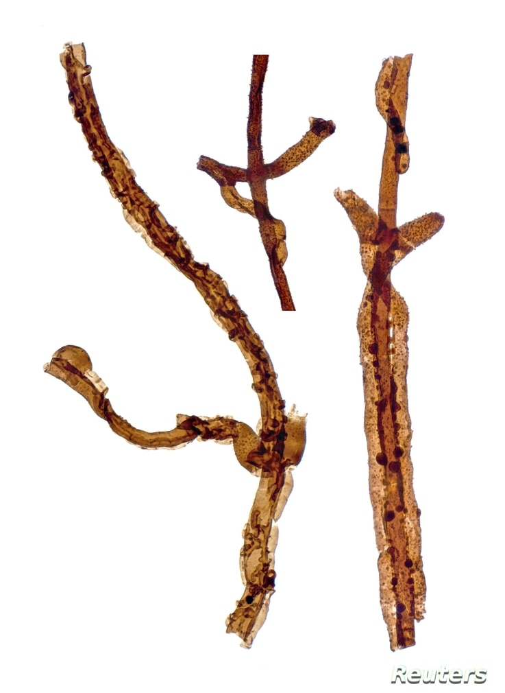 Three filaments of Tortotubus from Gotland, Sweden, showing the growth of secondary branches along the main filament, is shown in this image released March 2, 2016.