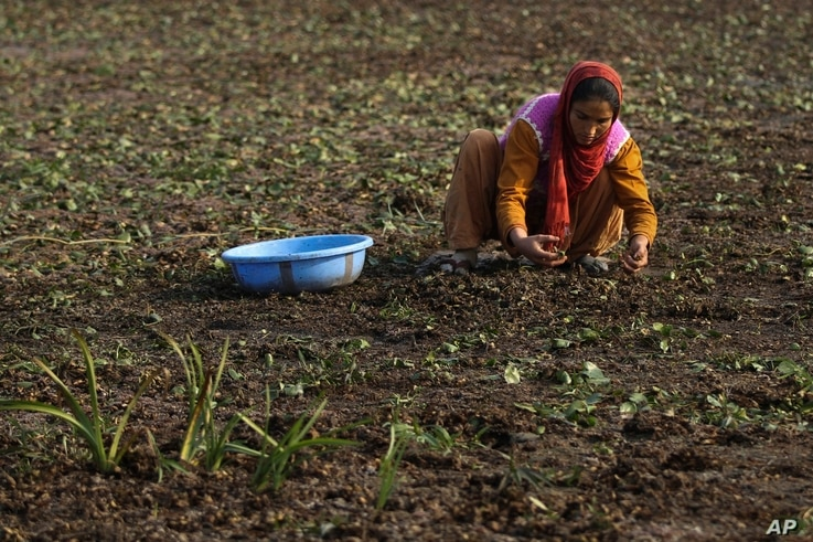A Kashmiri woman collects chestnuts from a dried portion of Wular Lake, northeast of Srinagar, Indian-controlled Kashmir, Oct. 29, 2016. Poverty rates in the 31 surrounding villages shot up as the lake's health declined.