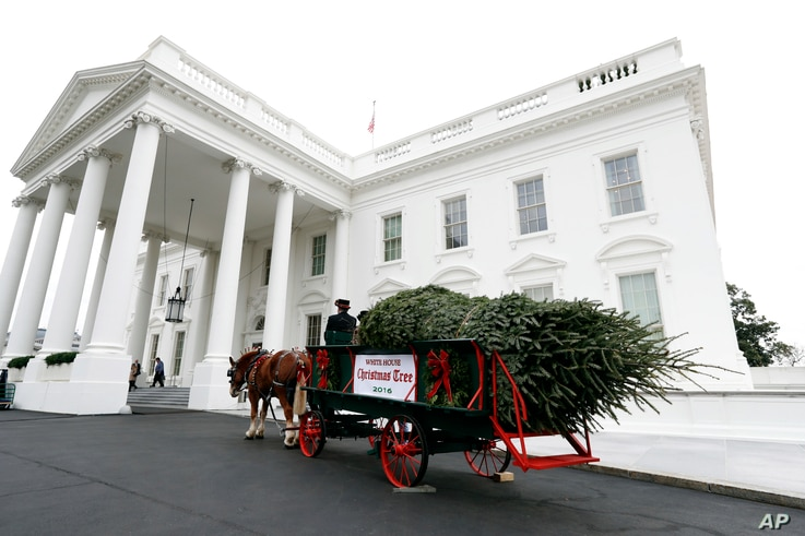 The White House Christmas Tree arrives at the White House in Washington, Friday, Nov. 25, 2016. The Balsam-Veitch fir from Wisconsin is 19 feet tall and 12 feet wide.