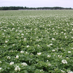 The potatoes in this field are related to a number of important plants, including tomatoes, eggplants, peppers and tobacco.