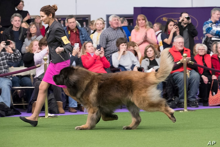 Alida Greendyk shows Dario, a Leonberger, in the ring during the 141st Westminster Kennel Club Dog Show, Feb. 14, 2017, in New York.