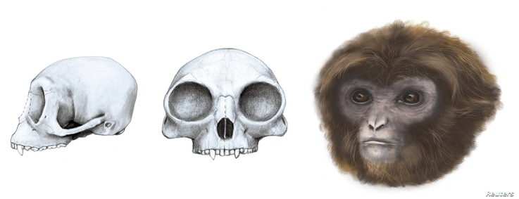 The extinct ape Pliobates cataloniae, with the front and side view of its skull, is seen in this reconstruction illustration by the Catalan Institute of Paleontology near Barcelona.