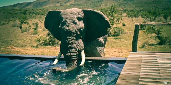 An elephant visits a lodge in South Africa's 'Albany Hotspot' area for a drink … Conservationists are successfully relocating the animals to parks in the country's Eastern Cape province