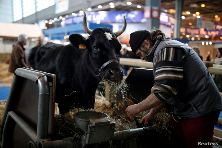 A farmer prepares a six-year-old Bretonne Pie Noir dairy cow named Fine, which is the mascot for the 2017 Paris International Agricultural Show in Paris, France, Feb. 24, 2017.