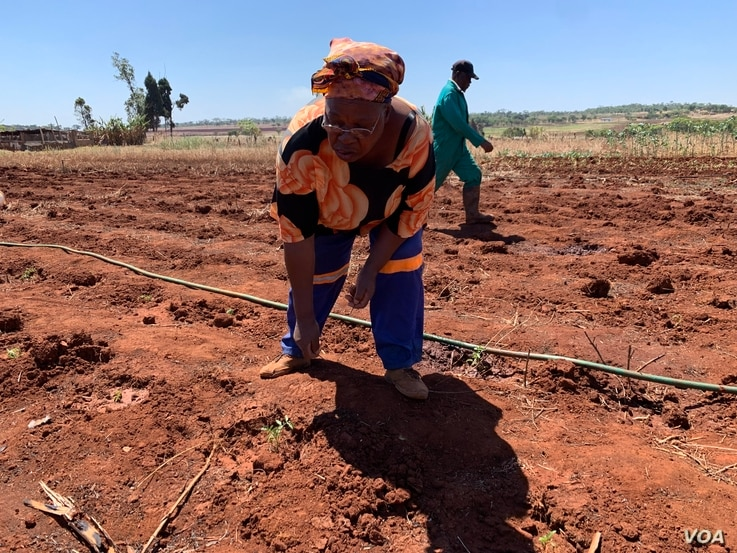 Fifty-nine-year-old farmer Tsitsi Marjorie Makaya works on her farm in Mazowe district, about 40 km (25 miles) north of Zimbabwe's capital Harare, Nov. 12, 2018. (C. Mavhunga/VOA
