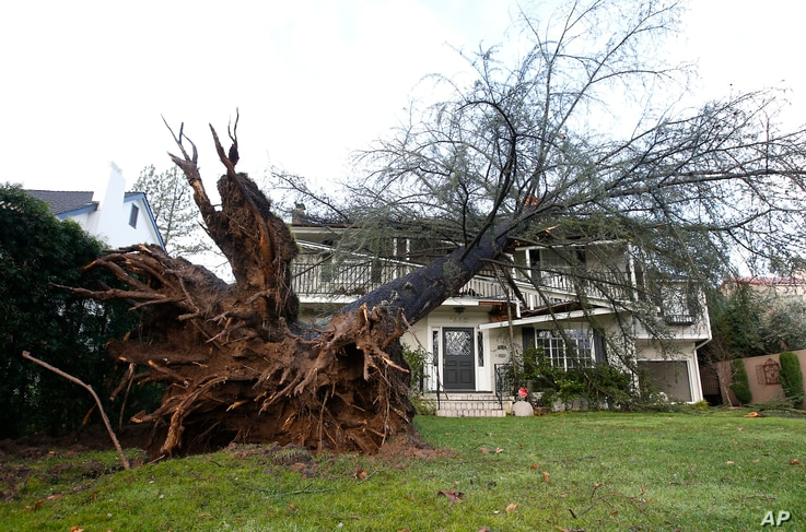 An uprooted tree that struck a home in Sacramento, Calif is seen, Jan. 19, 2017. The home's resident, who declined to be identified, said the tree fell during a storm around 7 p.m. Jan. 18.