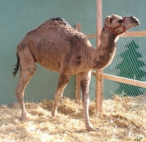 Curly the Camel is fully booked for the 2012 holiday season.